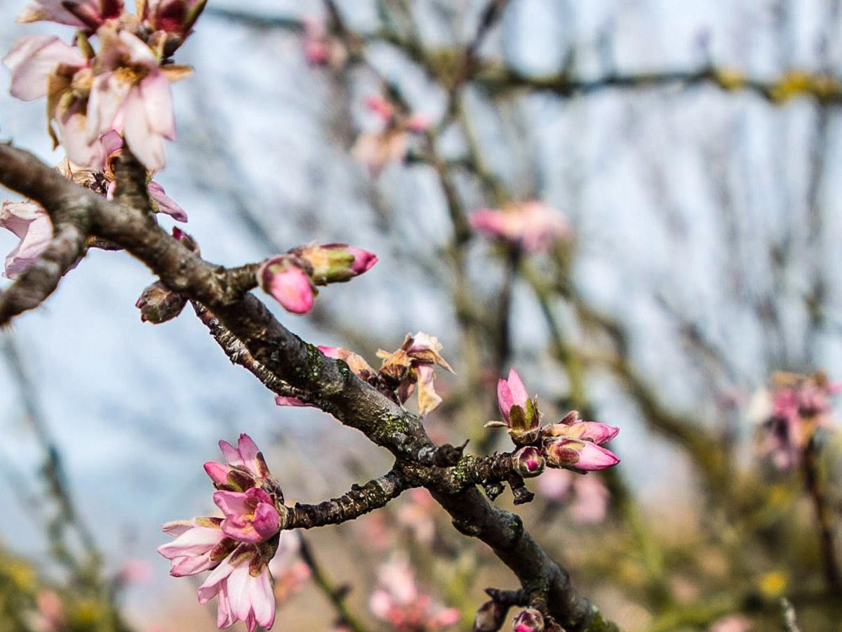 Amandiers en fleurs sur le sentier des Grands Crus
