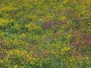 Fleurs des champs au Feldberg