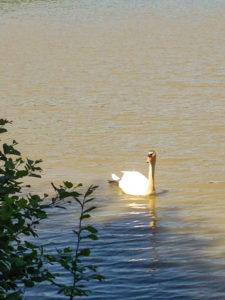 cygne sur un étang à Chavannes-sur-l'Étang