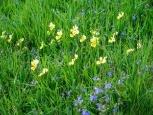Près de la ferme du Roedelen, pensées jaunes et myosotis bleus dans les prés