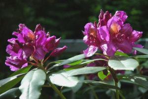 A Bâle, rhododendrons en fleurs
