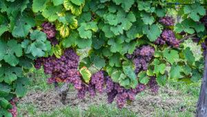 le vignoble - cépage alsacien