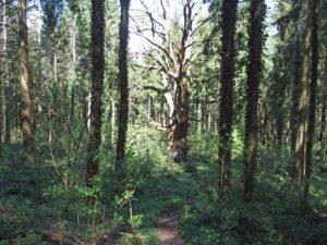 L'un des plus grands chênes de France près de Durlinsdorf