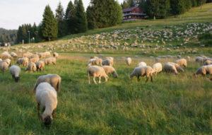 Moutons au Hebelhof